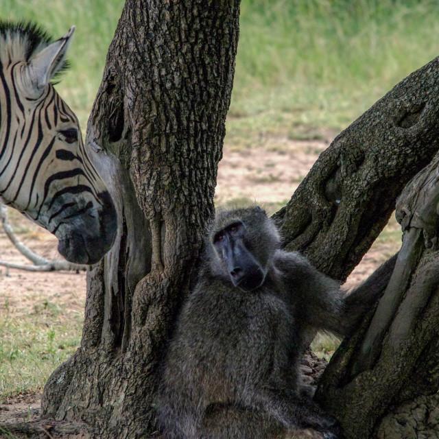 """""""Baboon with zebra"""" stock image"""