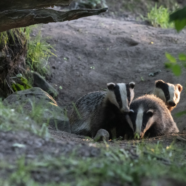 """Three Badgers."" stock image"