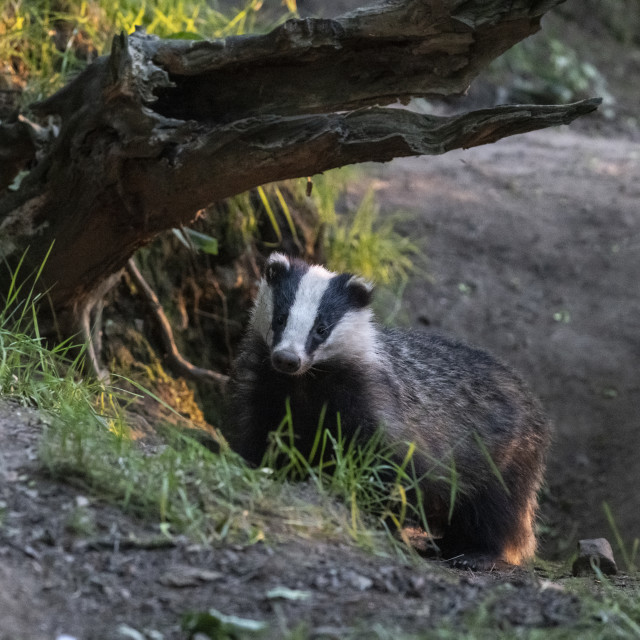 """Badger."" stock image"