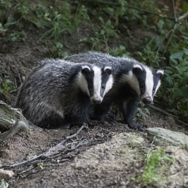 """Two Badgers"" stock image"