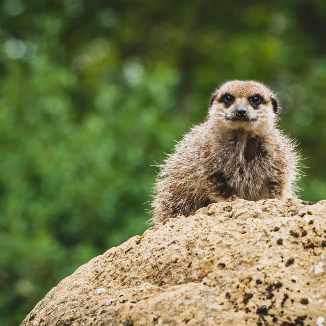 """""""Meerkat at London Zoo"""" stock image"""