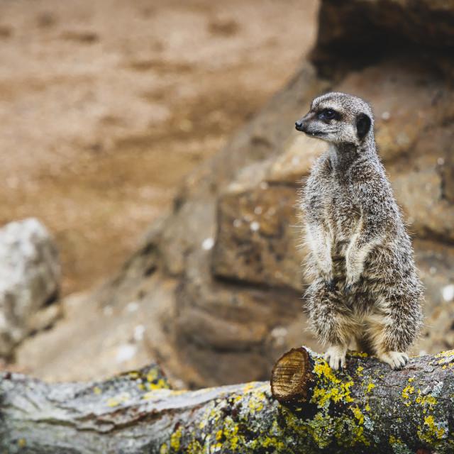 """""""Meerkat at London Zoo (2)"""" stock image"""
