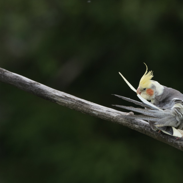 """""""Isolated cockatiel parrot with yellow head and red cheeks perching on a branch"""" stock image"""