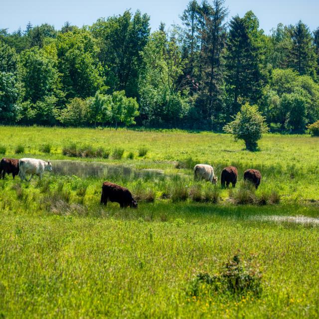 """Galloway cattles at the Kaltenhofer Moor in Schleswig-Holstein i"" stock image"
