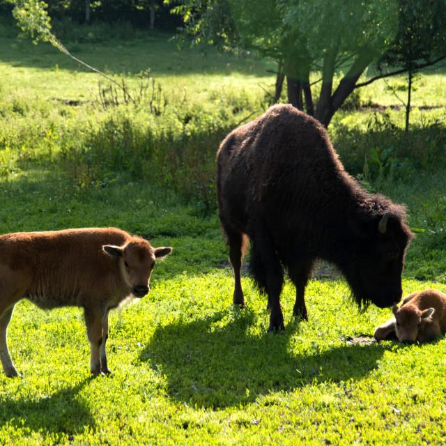 """""""Bison family in the animal enclosure in Kiel"""" stock image"""