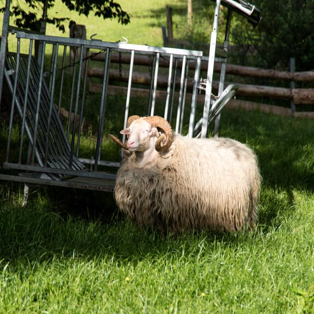 """Heidschnucke in Schleswig-Holstein in Germany"" stock image"
