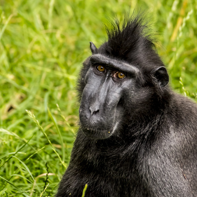 """""""Sulawesi Crested Macaque"""" stock image"""