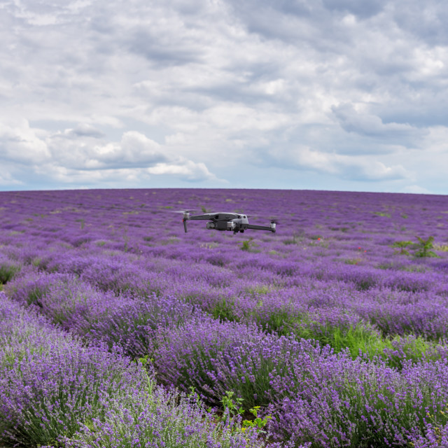"""""""Drone flies over a lavender field at summer."""" stock image"""