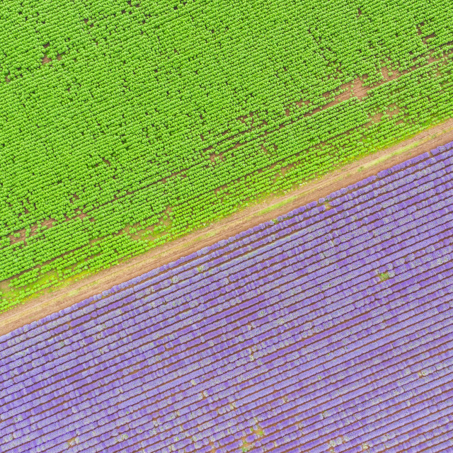"""""""Lavender field aerial view. Top view."""" stock image"""
