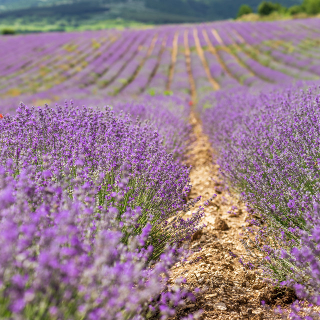 """""""Blooming lavender in a field at sunset."""" stock image"""