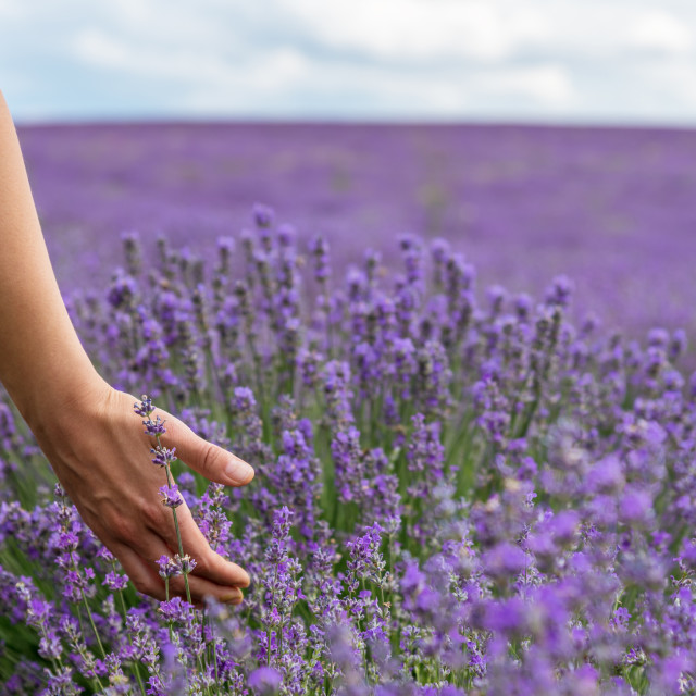 """""""Touching the lavender."""" stock image"""