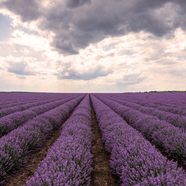 """Lavender flower field at sunset."" stock image"