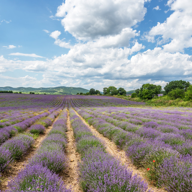 """""""Lavender fields. Beautiful image of lavender field."""" stock image"""