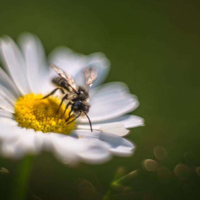 """""""Bee, VOL: II"""" stock image"""