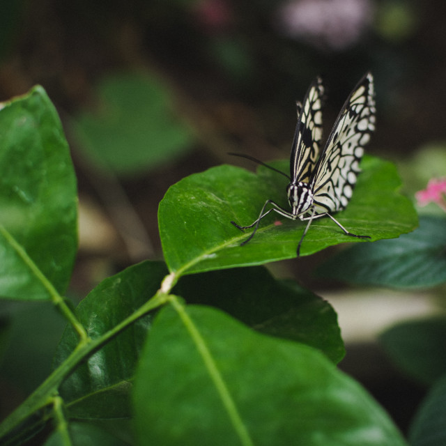 """""""Butterfly (4)"""" stock image"""