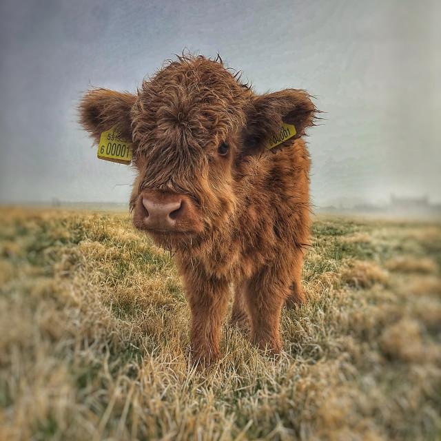 """Misty wet cow"" stock image"