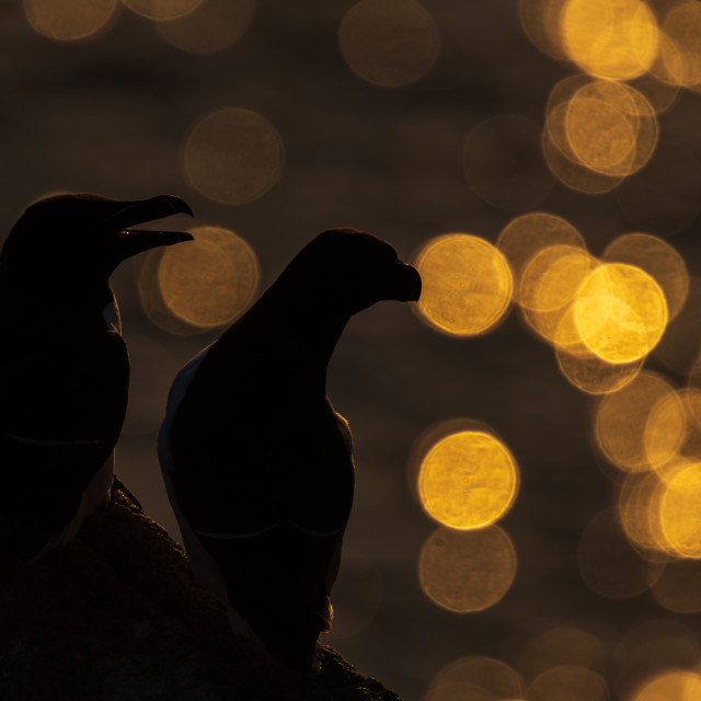 """Two Razorbills against the evening sunlight sea flares"" stock image"