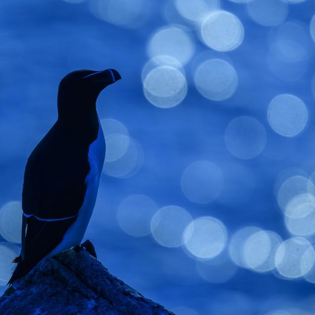 """A Razorbill against the evening sunlight sea flares"" stock image"