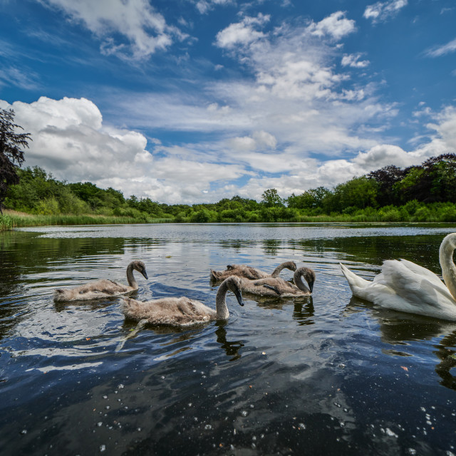 """Selbrigg Swans"" stock image"