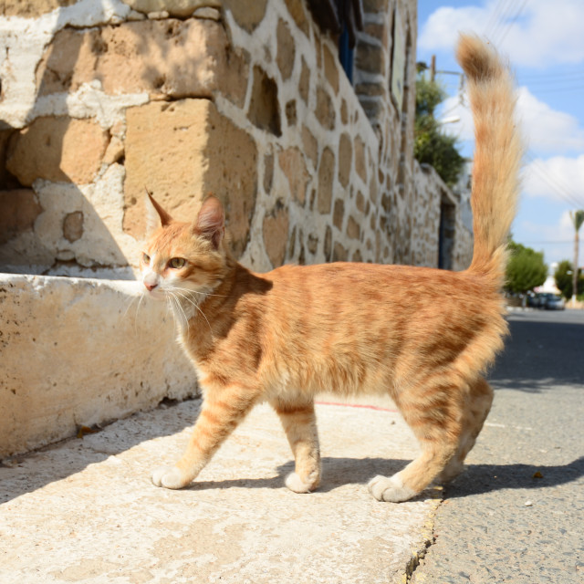 """Cypriot Cat"" stock image"