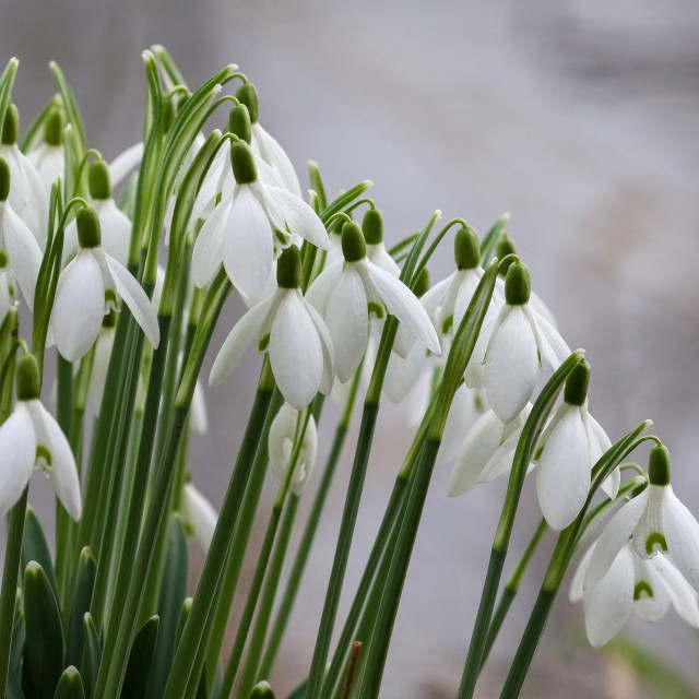 """Snow Drops"" stock image"