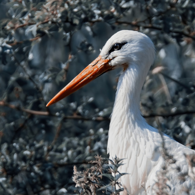 """Stork in the Bushes"" stock image"