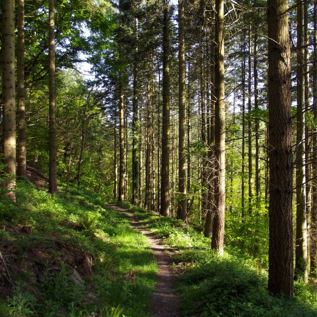 """""""Forest Walk No30"""" stock image"""