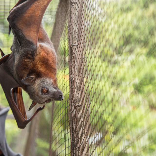 """Non-releasable Little Red Flying Fox In Aviary"" stock image"