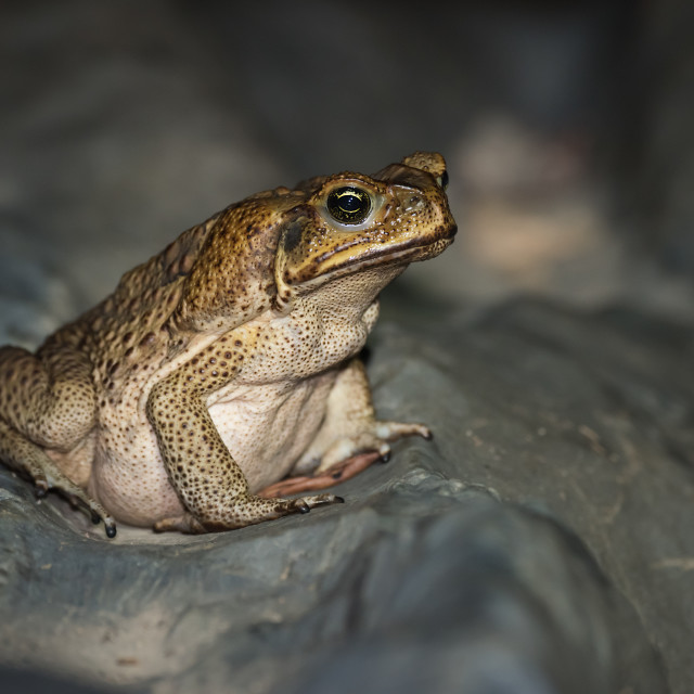 """""""Cane Toad At Night"""" stock image"""