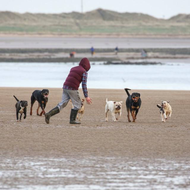 """Dog walking at the coast"" stock image"