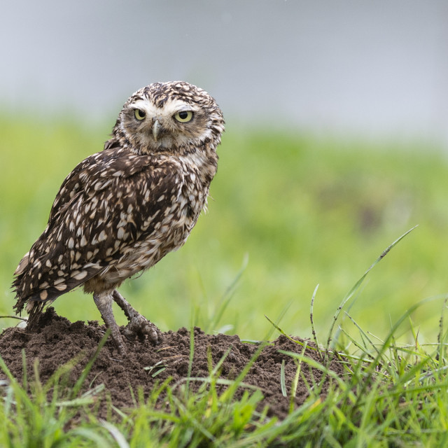 """The burrowing owl"" stock image"