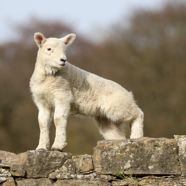 """Lamb"" stock image"