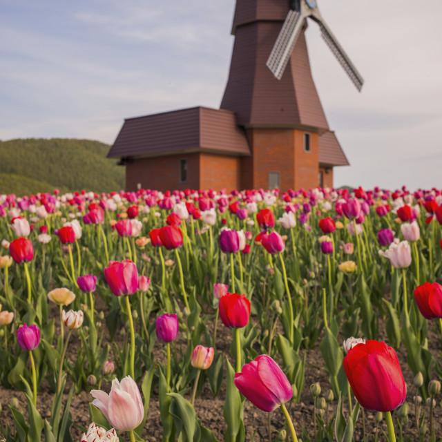 """""""Tulips, Kamiyubetsu Tulip Park, Hokkaido, Japan"""" stock image"""
