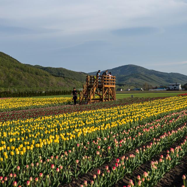 """""""Kamiyubetsu Tulip Park, Hokkaido, Japan"""" stock image"""