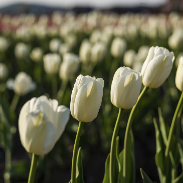"""White Tulips"" stock image"