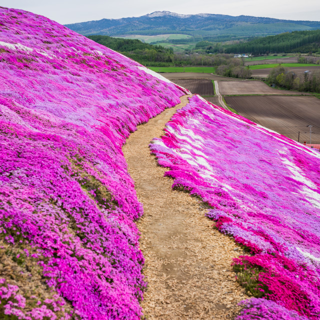 """Shibazakura Park, Higashimokoto, Hokkaido, Japan"" stock image"