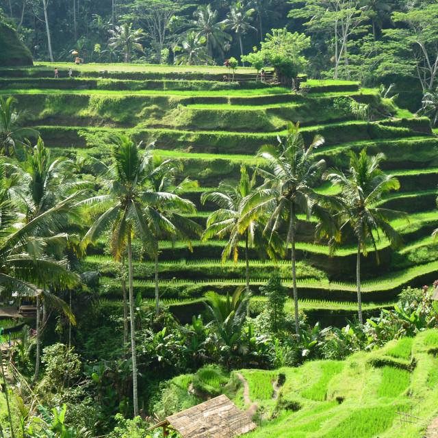 """Rice Terraces, Bali"" stock image"