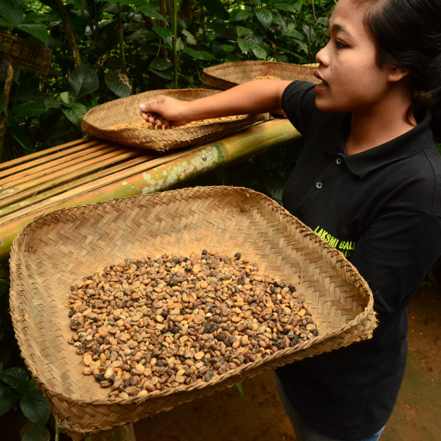 """Coffee Production, Bali, Indonesia"" stock image"
