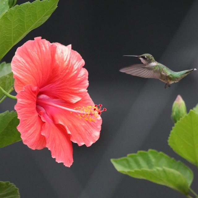 """Hummingbird and Flower"" stock image"
