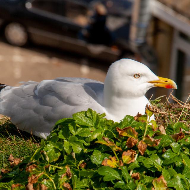 """Whitby, UK, East Yorkshire Coast. Herring Gull Sat on Cliff Top"" stock image"