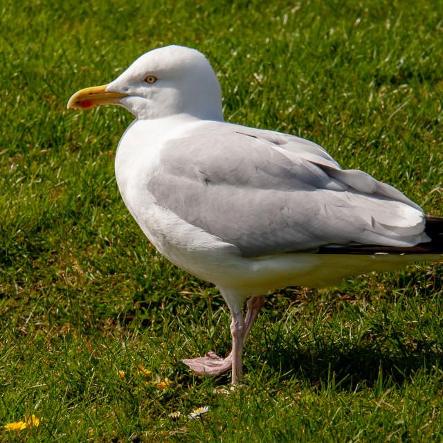 """Whitby, UK, East Yorkshire Coast. Herring Gull Walking in Grass Field."" stock image"