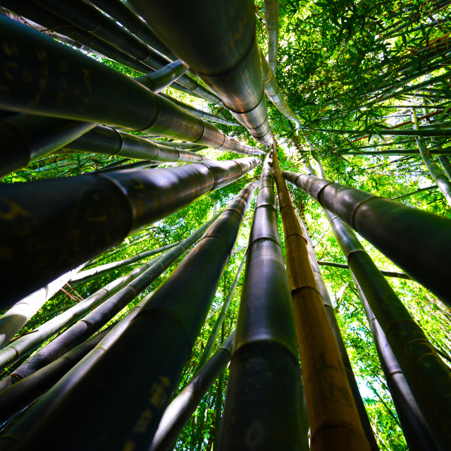 """Bamboo Forest - Australia"" stock image"