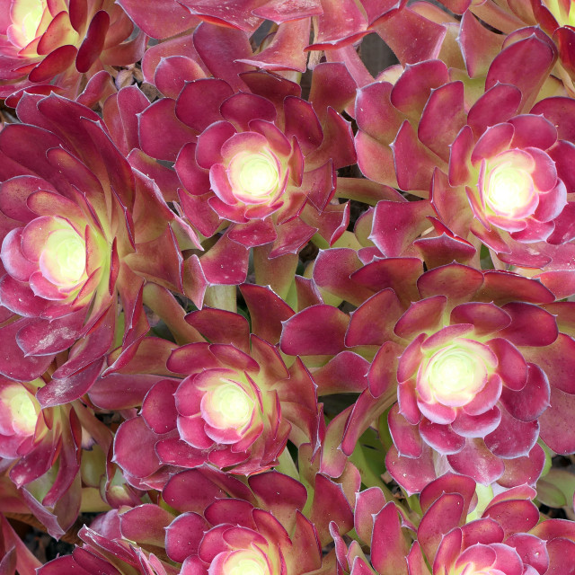"""Desert pinwheel burgundy roses creation"" stock image"