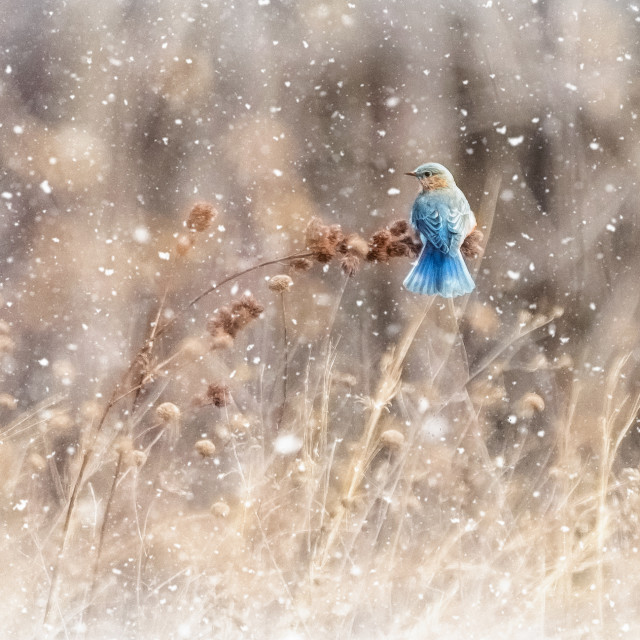 """Female Eastern Bluebird"" stock image"