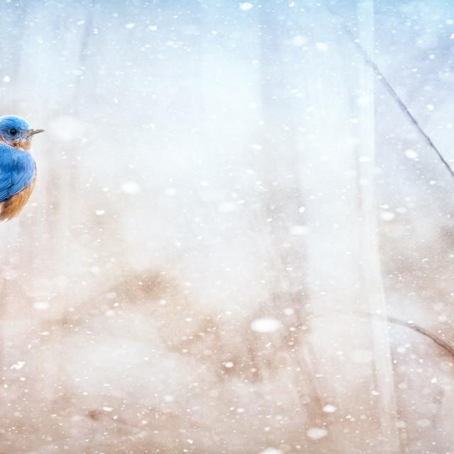 """A Male Eastern Bluebird"" stock image"