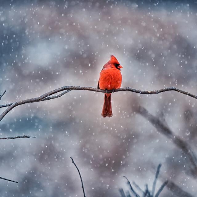"""Red Northern Cardinal"" stock image"