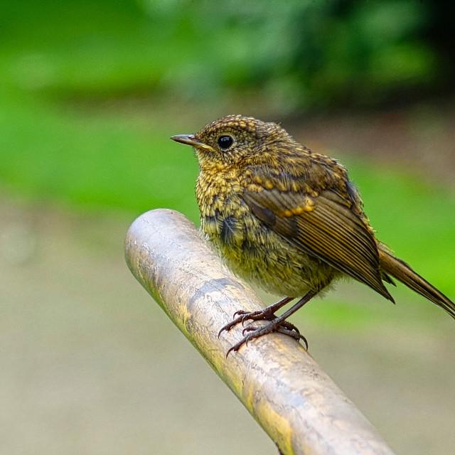 """Fledgling : Baby Robin"" stock image"