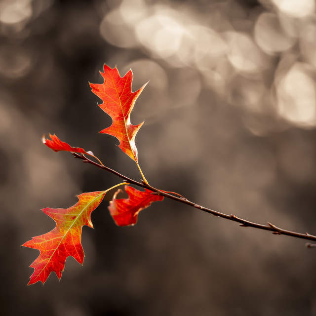 """""""Autumn oak"""" stock image"""