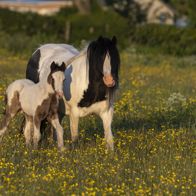 """""""Pony and foal"""" stock image"""