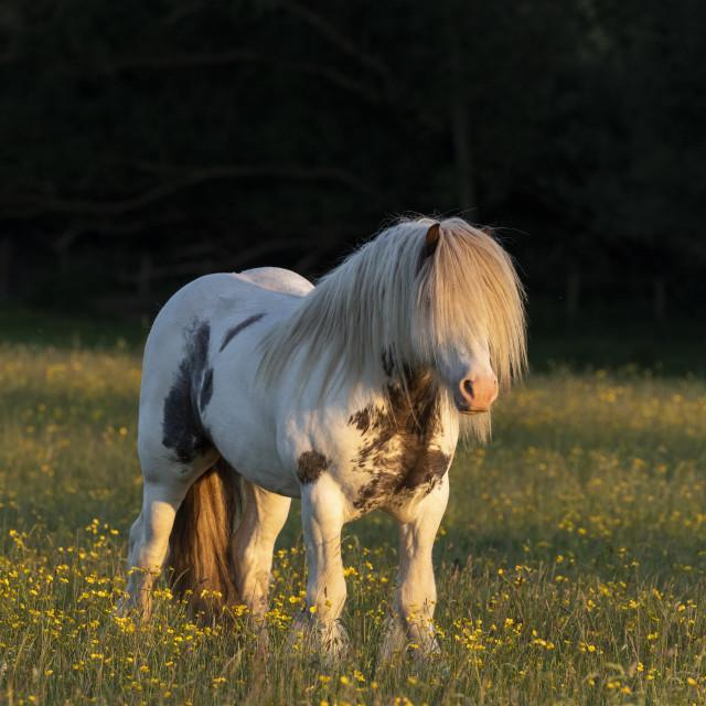 """Stallion"" stock image"